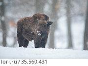 European bison, bison bonasus, in the forest with snow. Young wisnet... Стоковое фото, фотограф Zoonar.com/Jakub Mrocek / easy Fotostock / Фотобанк Лори