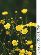 Green Spring Forest. Plant Ranunculus Acris With Yellow Flowers On... Стоковое фото, фотограф Ryhor Bruyeu / easy Fotostock / Фотобанк Лори