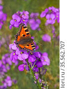 Small tortoiseshell butterflies (Aglais urticae) on Wallflower (Erysimum) in garden, Cheshire, UK, July. Стоковое фото, фотограф Alan Williams / Nature Picture Library / Фотобанк Лори