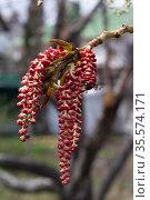 Ветка цветущей ольхи. Стоковое фото, фотограф Петрова Ольга / Фотобанк Лори