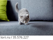 The little gray kitten tries to jump off a sofa. The scottish fold... Стоковое фото, фотограф Zoonar.com/OKSANA SHUFRYCH / easy Fotostock / Фотобанк Лори