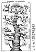 Haeckel's scheme of  evolution displayed in the form of a tree. From... Редакционное фото, агентство World History Archive / Фотобанк Лори