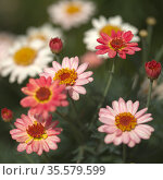 Flowers of Argyranthemum, marguerite daisy endemic to the Canary Islands, pink and yellow garden variety. Стоковое фото, фотограф Tamara Kulikova / Фотобанк Лори