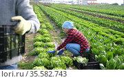 Couple of male and female farmers harvest crop of green lettuce on a plantation. Стоковое видео, видеограф Яков Филимонов / Фотобанк Лори