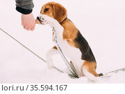 Beautiful Tricolor Puppy Of English Beagle Giving Paw To Owner, Shaking... Стоковое фото, фотограф Ryhor Bruyeu / easy Fotostock / Фотобанк Лори