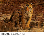 Bengal tiger (Panthera tigris) male, called Jam, Ranthambhore, India. Стоковое фото, фотограф Andy Rouse / Nature Picture Library / Фотобанк Лори