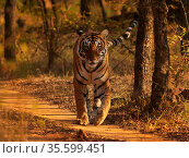 Bengal tiger (Panthera tigris) tigress Arrowhead Ranthambhore, India. Стоковое фото, фотограф Andy Rouse / Nature Picture Library / Фотобанк Лори