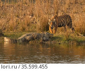 Bengal tiger (Panthera tigris) sub adult with Mugger crocodile (Crocodylus palustris) Ranthambhore, India. Medium repro only. Стоковое фото, фотограф Andy Rouse / Nature Picture Library / Фотобанк Лори