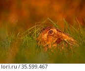 European hare (Lepus europaeus) in autumn light, UK. October. Стоковое фото, фотограф Andy Rouse / Nature Picture Library / Фотобанк Лори