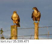Common buzzard (Buteo buteo) two perched on fence posts, UK November. Стоковое фото, фотограф Andy Rouse / Nature Picture Library / Фотобанк Лори