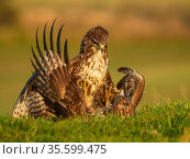 Common buzzards (Buteo buteo) fighting over food, UK. November. Стоковое фото, фотограф Andy Rouse / Nature Picture Library / Фотобанк Лори