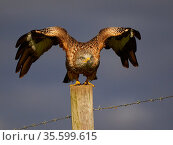 Red kite (Milvus milvus) taking off from a fence post, UK. November. Стоковое фото, фотограф Andy Rouse / Nature Picture Library / Фотобанк Лори