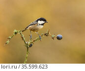 Coal tit (Periparus ater) perched on lichen-covered branch, Wales, UK. November. Стоковое фото, фотограф Andy Rouse / Nature Picture Library / Фотобанк Лори
