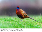 Pheasant (Phasianus colchicus) male, standing in the rain, Wychbold, Worcesterhire, UK. February. Стоковое фото, фотограф David Pike / Nature Picture Library / Фотобанк Лори