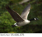 Canada goose (Branta canadensis), taking off, Maryland, USA. September. Стоковое фото, фотограф John Cancalosi / Nature Picture Library / Фотобанк Лори
