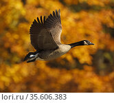 Canada goose (Branta canadensis) in flight in autumn, Maryland, USA. October. Стоковое фото, фотограф John Cancalosi / Nature Picture Library / Фотобанк Лори