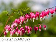 Close-up flowers of a bleeding heart Dicentra Spectabils. Стоковое фото, фотограф Ольга Сейфутдинова / Фотобанк Лори