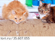 red Siberian cat and American Shorthair cat lie together on the couch. Стоковое фото, фотограф Акиньшин Владимир / Фотобанк Лори