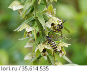 Saxon wasps (Dolichovespula saxonica) with pollinia on their heads after nectaring from Broad-leaved helleborine (Epipactis helleborine) flowers on a woodland... Стоковое фото, фотограф Nick Upton / Nature Picture Library / Фотобанк Лори