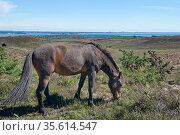 Welsh pony (Equus caballus) grazing Godlingston Heath with Poole Harbour and the English Channel in the background, Devon, UK, July. Стоковое фото, фотограф Nick Upton / Nature Picture Library / Фотобанк Лори