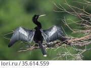 Anhinga (Anhinga anhinga) male drying its wings . Note oil gland at base of tail. Wakodahatchee Wetlands, Florida, USA, April. Стоковое фото, фотограф John Shaw / Nature Picture Library / Фотобанк Лори