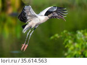 Wood stork (Mycteria americana) taking off, Wakodahatchee Wetlands, Florida, USA, April. Стоковое фото, фотограф John Shaw / Nature Picture Library / Фотобанк Лори