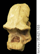 The robust australopithecines. Редакционное фото, агентство World History Archive / Фотобанк Лори