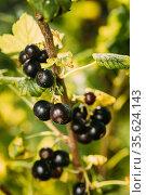 Black Currant On Branch Of Bush. Close Up Growing Organic Berries... Стоковое фото, фотограф Ryhor Bruyeu / easy Fotostock / Фотобанк Лори