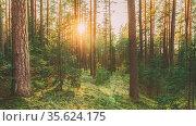 Beautiful Sunset In Autumn Coniferous Forest. Sun Sunlight Through... Стоковое фото, фотограф Ryhor Bruyeu / easy Fotostock / Фотобанк Лори