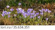 First spring flowers. Beautiful Crocus vernus (Spring Crocus, Giant Crocus) in April. Стоковое фото, фотограф Валерия Попова / Фотобанк Лори