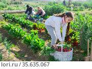 Portrait of a teenage girl with a basket of crops in the vegetable garden. Стоковое фото, фотограф Яков Филимонов / Фотобанк Лори