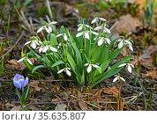 Galanthus nivalis, snowdrop or common snowdrop in April. Стоковое фото, фотограф Валерия Попова / Фотобанк Лори