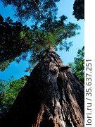Riesiger mammutbaum mit blick auf die hohe krone. Стоковое фото, фотограф Zoonar.com/thomas eder / age Fotostock / Фотобанк Лори