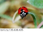 Kleiner rot schwarzer marienkaefer kurz vor abflug auf einem blatt... Стоковое фото, фотограф Zoonar.com/thomas eder / age Fotostock / Фотобанк Лори