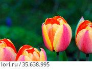 Vier bunte gelb rote tulpen im fruehling und garten. Стоковое фото, фотограф Zoonar.com/thomas eder / age Fotostock / Фотобанк Лори