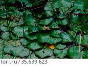 Gruener frosch versteckt sich in einem teich im sommer zwischen blaettern. Стоковое фото, фотограф Zoonar.com/thomas eder / age Fotostock / Фотобанк Лори