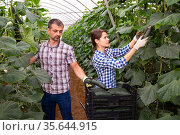 Farm family gathering crop of cucumbers in hothouse. Стоковое фото, фотограф Яков Филимонов / Фотобанк Лори