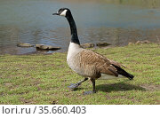 Canada goose (Branta canadensis), large wild goose with black head and neck, white cheeks, white under its chin, and brown body. Стоковое фото, фотограф Валерия Попова / Фотобанк Лори