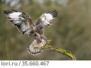 Buzzard (Buteo buteo) landing on branch and calling, Lorraine, France, January. Стоковое фото, фотограф Michel Poinsignon / Nature Picture Library / Фотобанк Лори