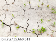 Green plants grow in cracks of dry soil, drought. Стоковое фото, фотограф EugeneSergeev / Фотобанк Лори