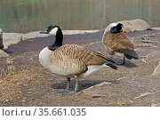 Canada goose (Branta canadensis), large wild goose, in Central Park in New York City. Стоковое фото, фотограф Валерия Попова / Фотобанк Лори