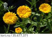 Цветущая желтая календула, или ноготки (лат. Calendula officinalis) в летнем саду. Стоковое фото, фотограф Елена Коромыслова / Фотобанк Лори