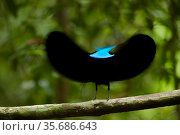 Magnificent Riflebird (Ptiloris magnificus) male displaying to female from his display vine, Papua New Guinea. Winner, Special Award Portfolio, Wildlife... Стоковое фото, фотограф Tim Laman / Nature Picture Library / Фотобанк Лори