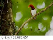 King Bird of Paradise (Cicinnurus regius) male on display branch, Papua New Guinea. Стоковое фото, фотограф Tim Laman / Nature Picture Library / Фотобанк Лори