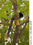 Arfak Astrapia (Astrapia nigra) male perched in tree, Papua New Guinea. Стоковое фото, фотограф Tim Laman / Nature Picture Library / Фотобанк Лори