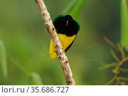 Twelve wired Bird of Paradise (Seleucidis melanoleuca) male at his display pole in the swamp rain forest at Nimbokrang, Papau, Indonesia, Island of New Guinea. Стоковое фото, фотограф Tim Laman / Nature Picture Library / Фотобанк Лори
