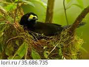 Long-tailed Paradigalla (Paradigalla carunculata) female sitting at nest, Papua New Guinea. Стоковое фото, фотограф Tim Laman / Nature Picture Library / Фотобанк Лори