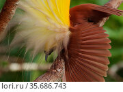 Greater Bird of Paradise (Paradisaea apoda) male performing inverted static display, Badigaki Forest, Wokam Island in the Aru Islands, Indonesia. Стоковое фото, фотограф Tim Laman / Nature Picture Library / Фотобанк Лори