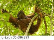 Bornean orangutan (Pongo pygmaeus) male, Gunung Palung National Park, Borneo. Стоковое фото, фотограф Tim  Laman / Nature Picture Library / Фотобанк Лори