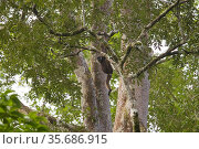 Bornean white-bearded gibbon (Hylobates albibarbis) adult male, hanging by arms in the rainforest  tree canopy, Gunung Palung National Park, Borneo. Стоковое фото, фотограф Tim  Laman / Nature Picture Library / Фотобанк Лори